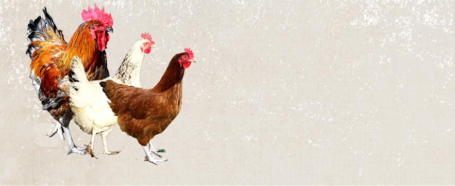 Ou acheter des poules latest rencontre avec franois couture azy with ou acheter des poules top - A quel age une poule pond ...